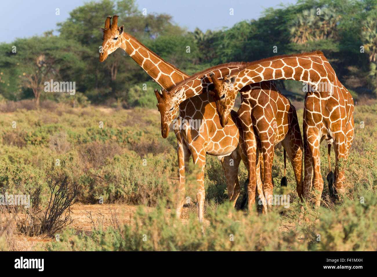 Trois girafes réticulés ou Somali (Giraffa camelopardalis reticulata), Samburu National Reserve, Kenya Banque D'Images