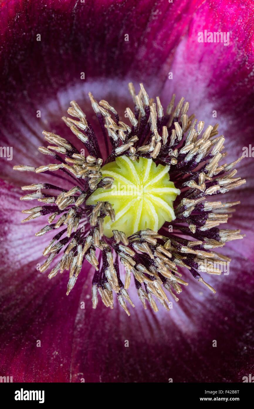 Poppy dans notre jardin, Milborne Port, Somerset, Angleterre Photo Stock
