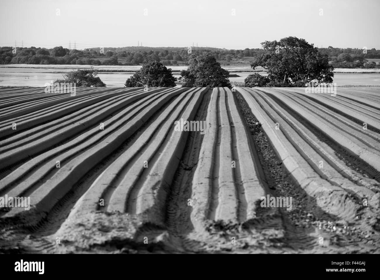 La récolte de pommes de terre UK Suffolk Iken Photo Stock