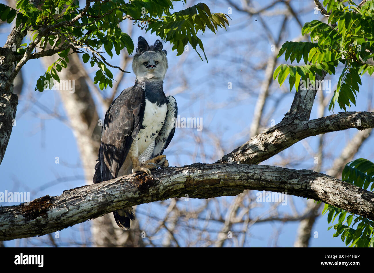 Femme Harpie (Harpia harpyja) perché près de son nid. Pousada Currupira d'Araras, au sud-ouest du Photo Stock
