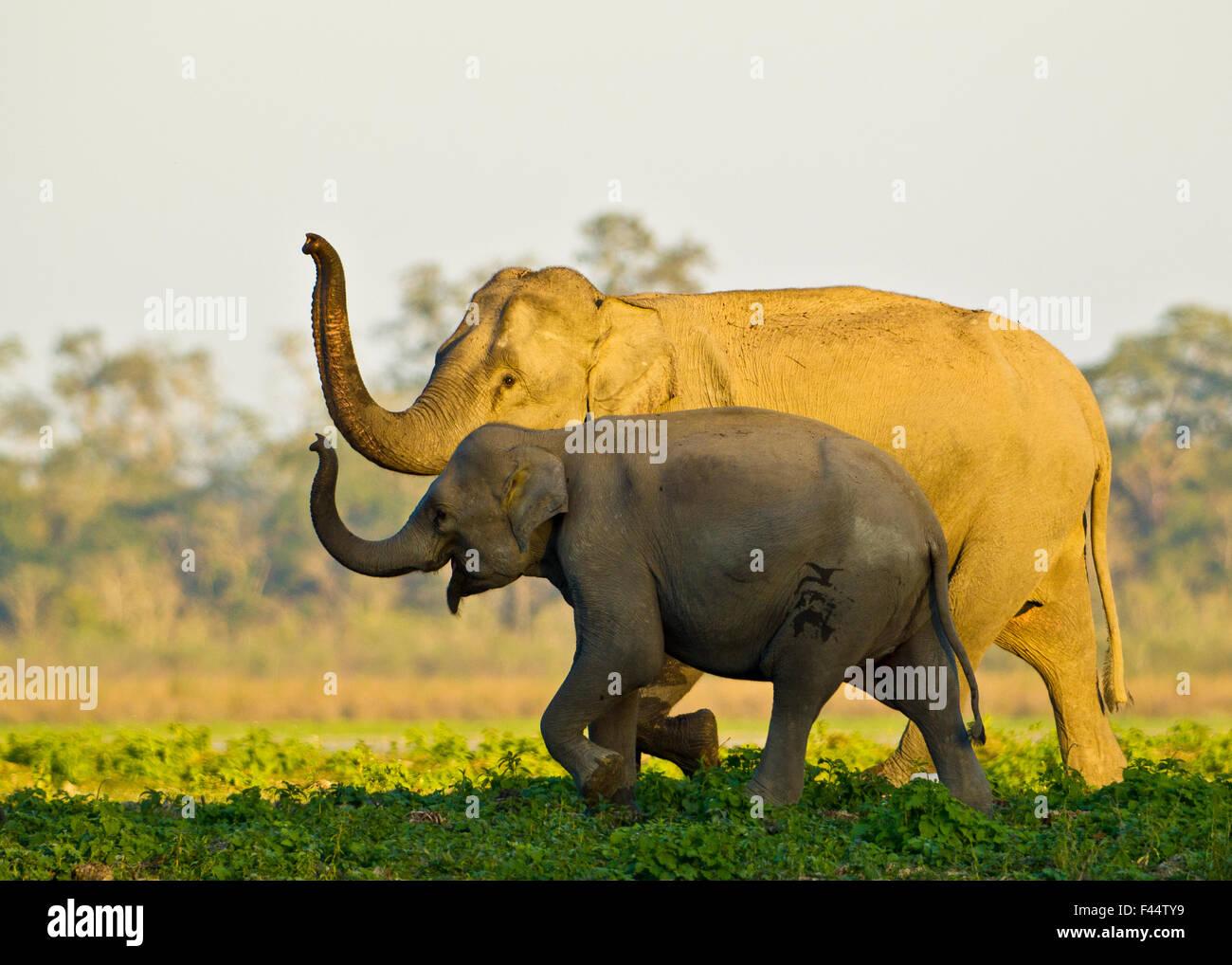 Les éléphants d'Asie (Elephas maximus indicus) reniflant l'air comme il se rapproche d'un Photo Stock