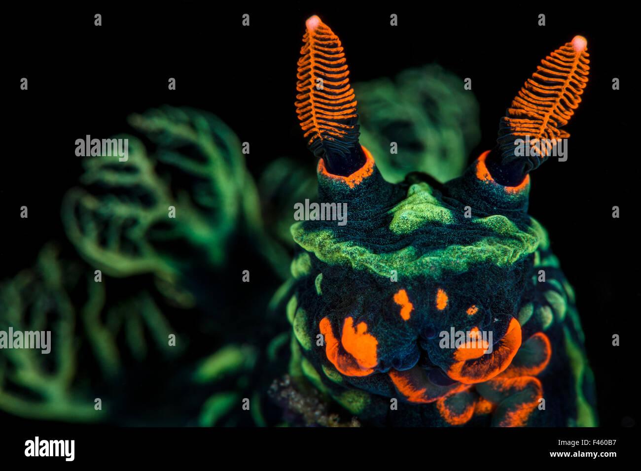 Fort agrandissement photo de nudibranche (Nembrotha kubaryana), montrant des pièces buccales et orange, vert Photo Stock