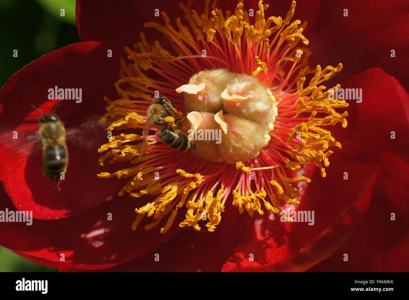 Rouge cramoisi pivoine simple Banque D'Images