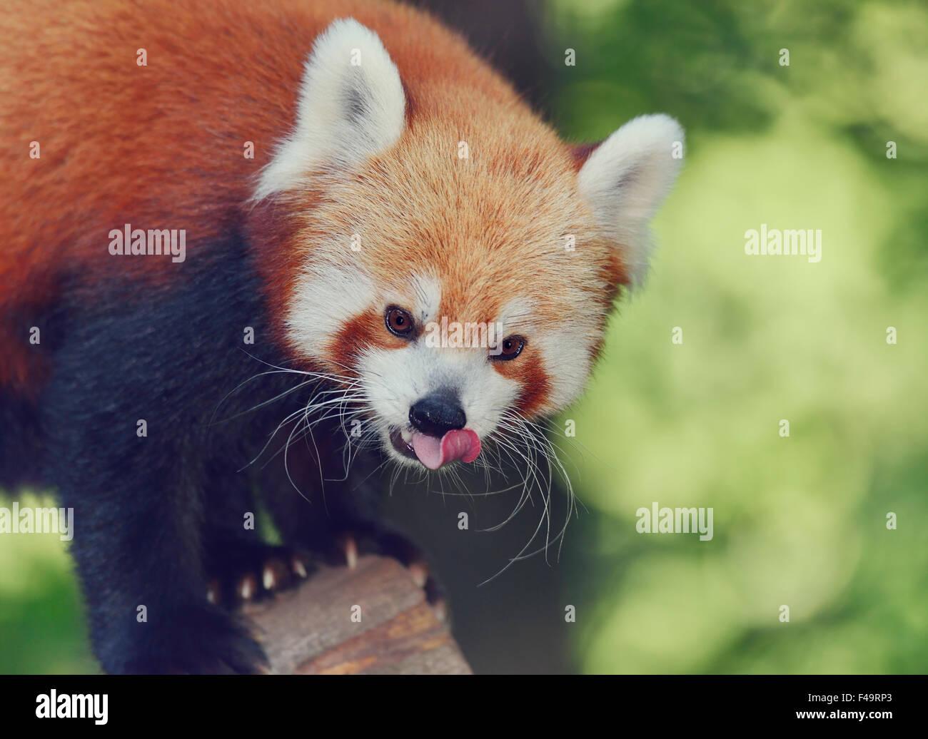 Portrait de panda rouge,Close Up Photo Stock