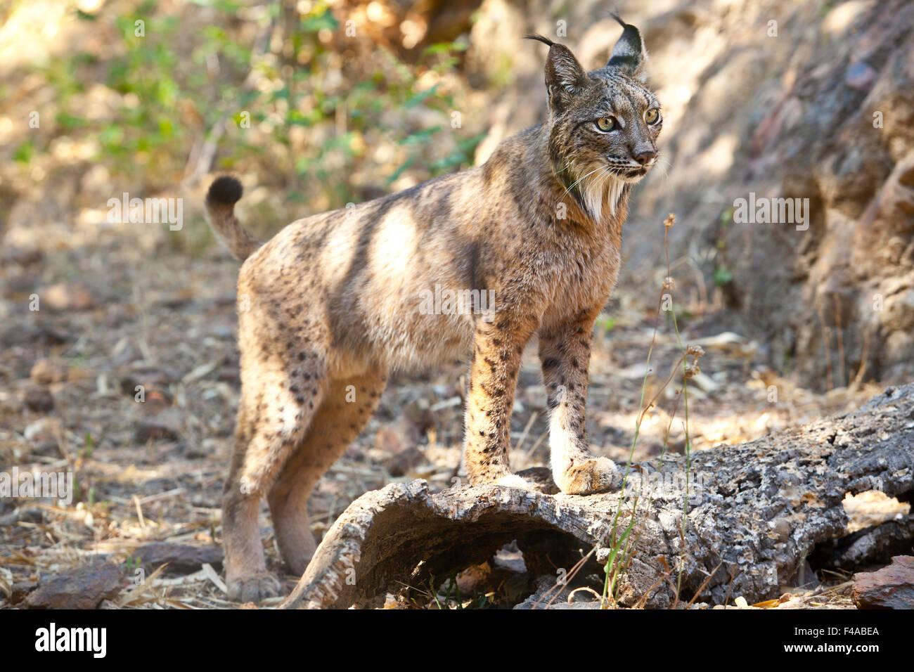Le lynx ibérique ou Lynx pardinus à Wild Life Park Banque D'Images