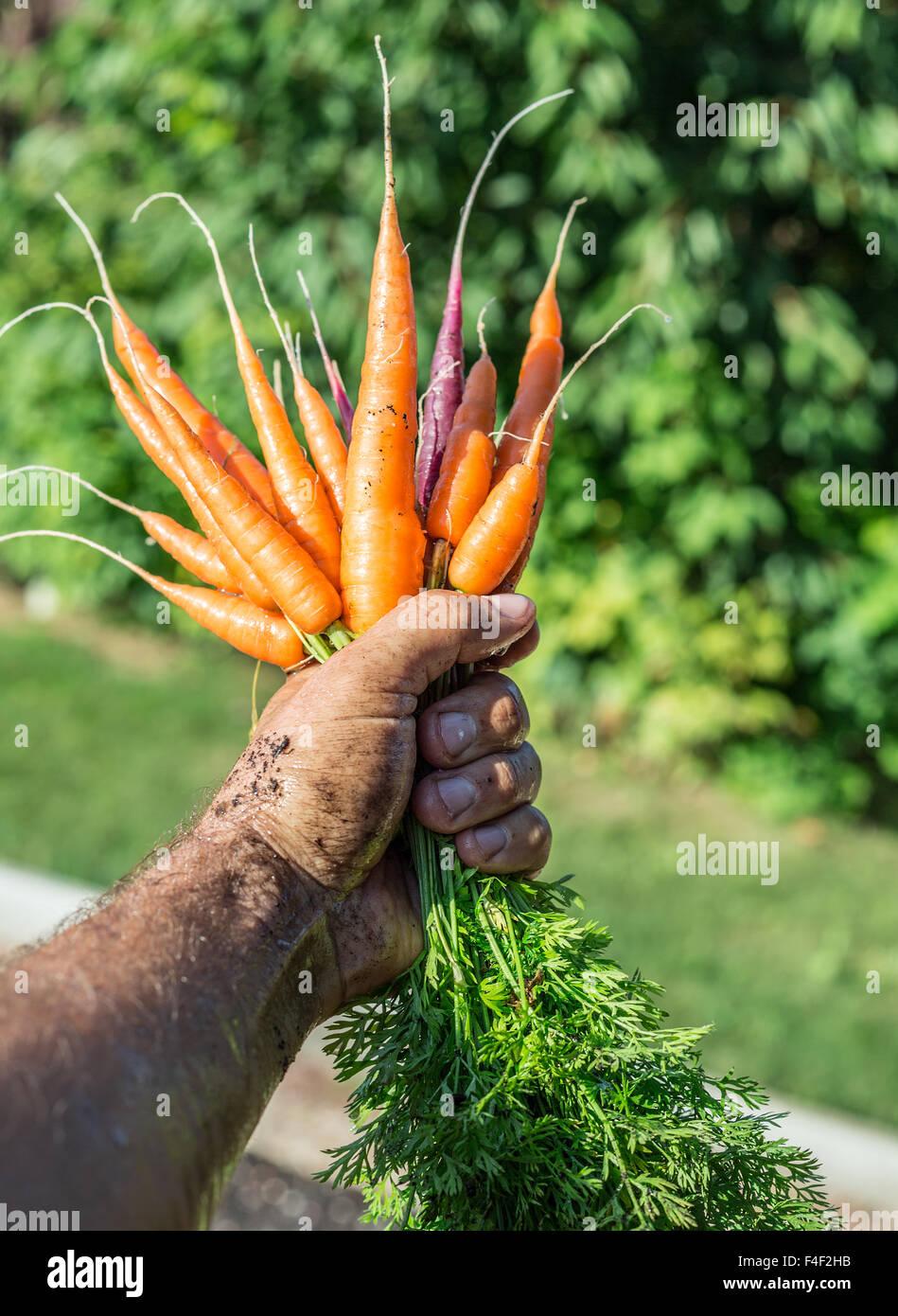 Les carottes dans la main de l'homme. Photo Stock