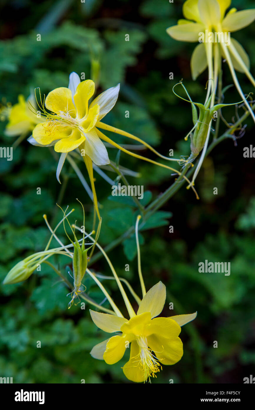 desert columbine photos desert columbine images alamy. Black Bedroom Furniture Sets. Home Design Ideas