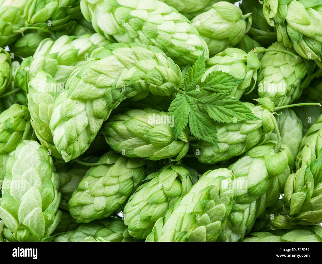 Les cônes de houblon vert - ingrédient dans la production de bière. Photo Stock