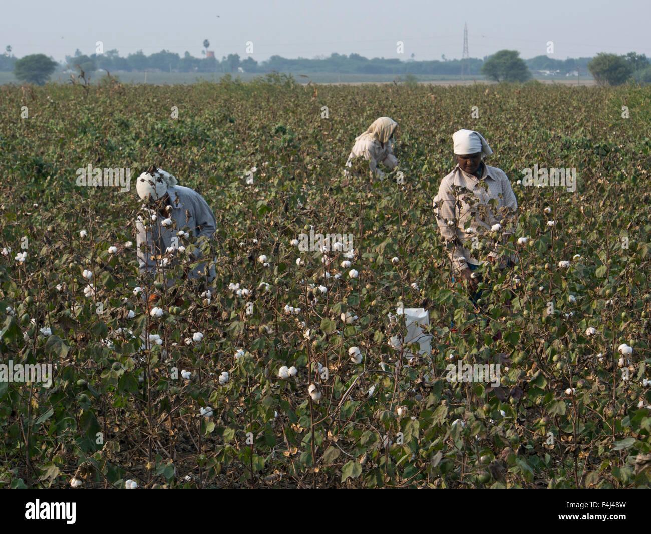 Cueilleurs de coton dans la région de Tamil Nadu, Inde, Asie Photo Stock