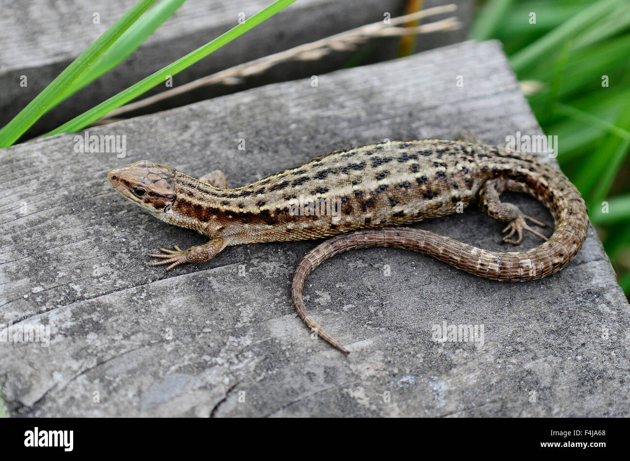 Lézard commun sur un conseil marche UK Photo Stock