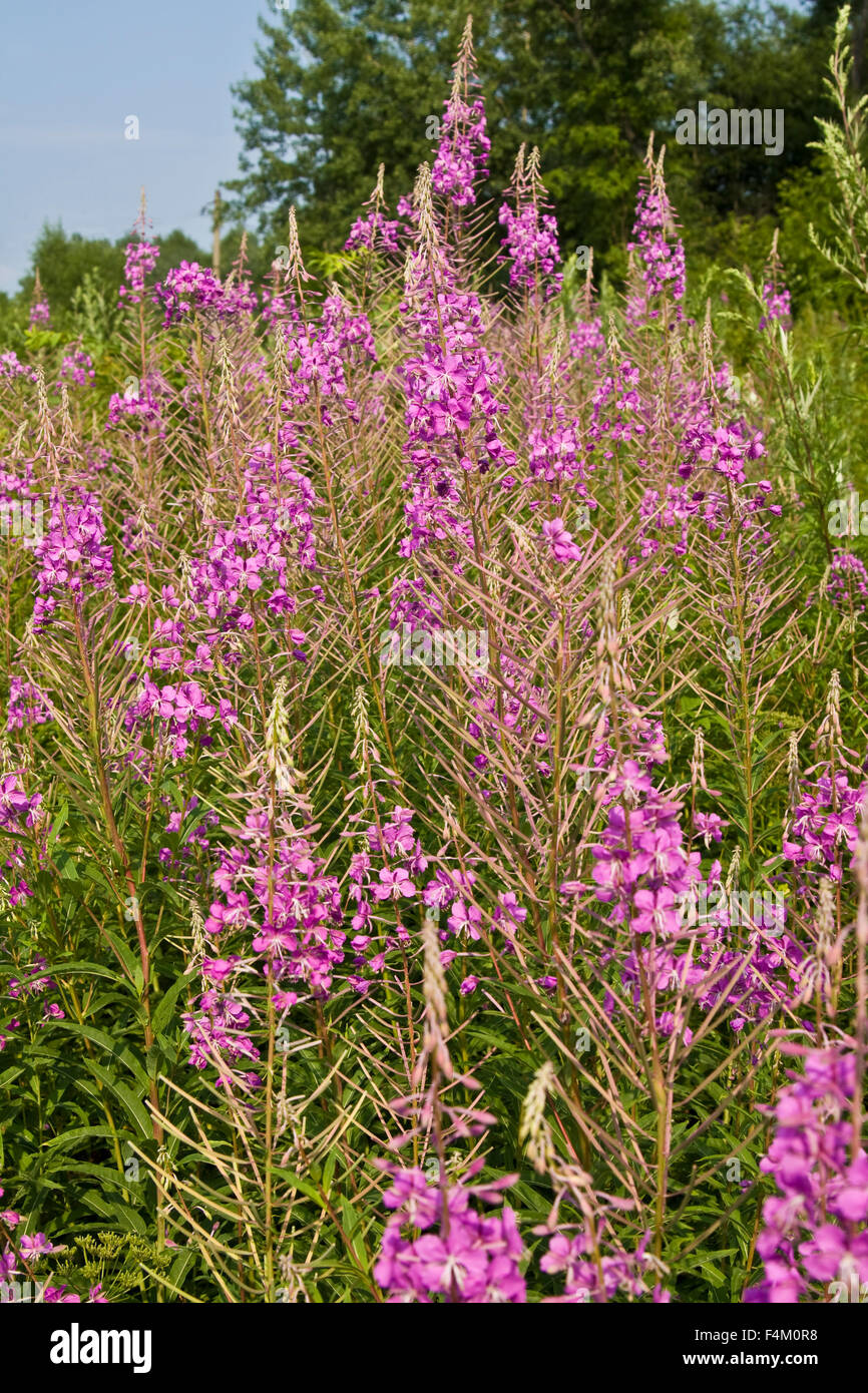 Prairie En Fleurs D Ete Avec Des Fleurs Rose Sauvage Rose Bay Banque