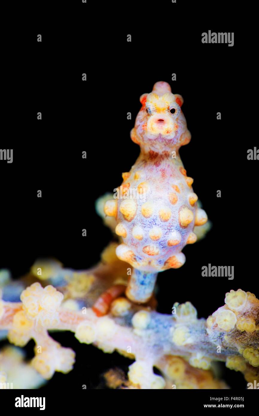 Hippocampe pygmée à la visionneuse à Photo Stock