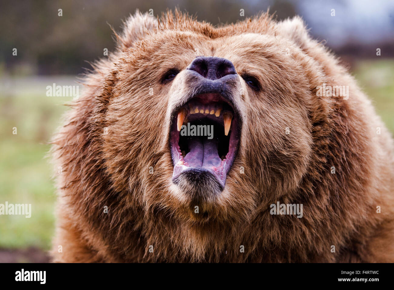 Ours brun, Ursus arctos, ours, animal, USA, chef Photo Stock