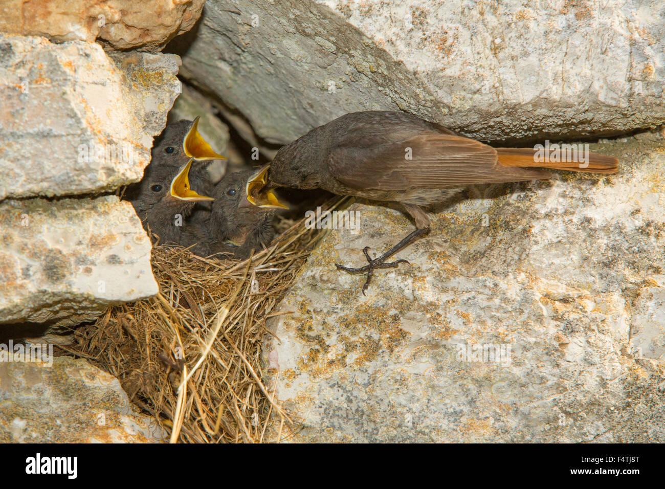 Paruline flamboyante Blak, oiseaux Photo Stock