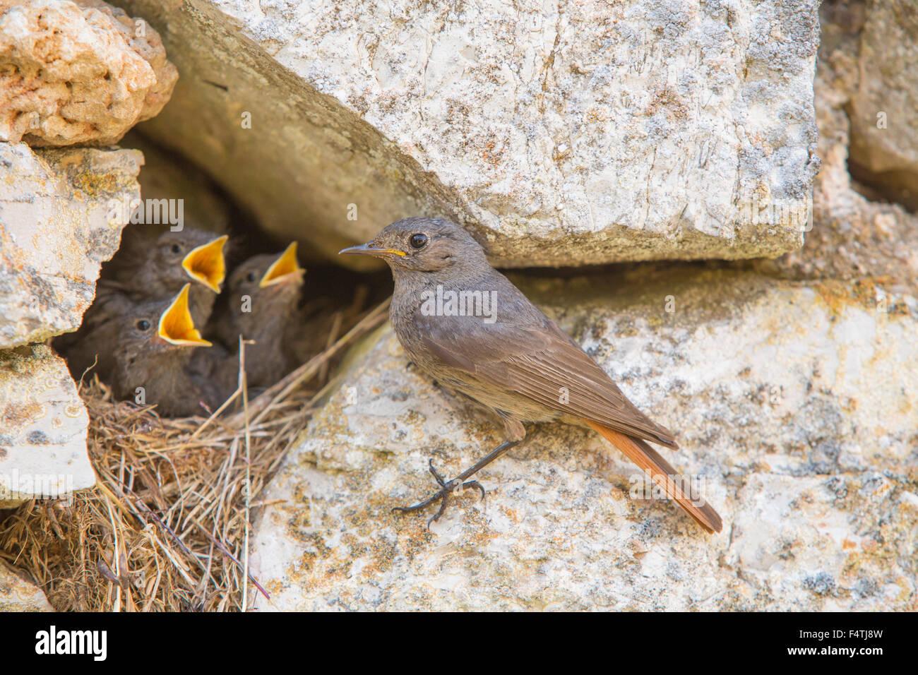 Blak paruline flamboyante, oiseaux, Photo Stock