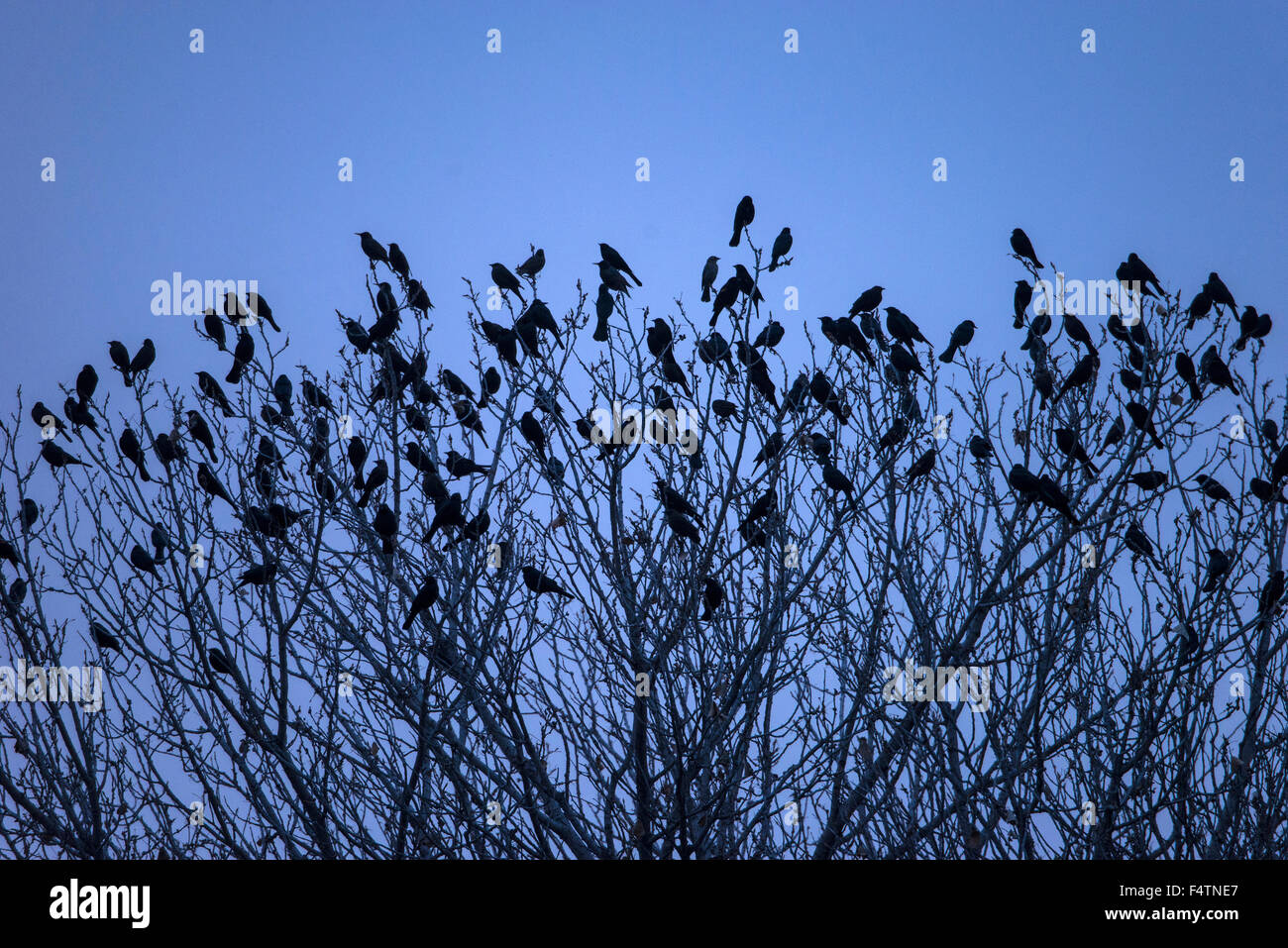 Merles, arbre, arbre, oiseau Photo Stock