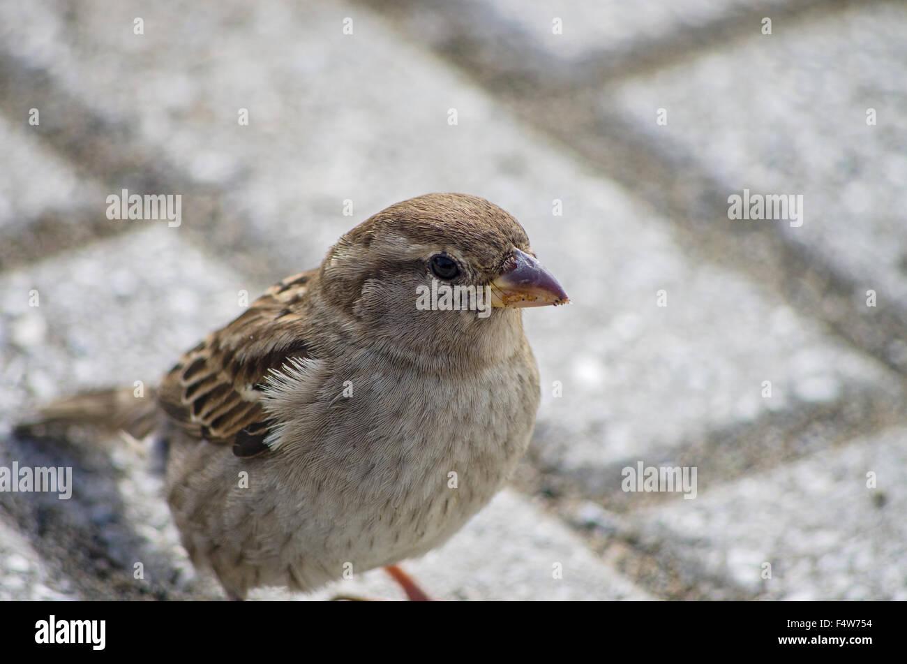 Sparrow rechercher quelque chose à manger près de la chambre Banque D'Images