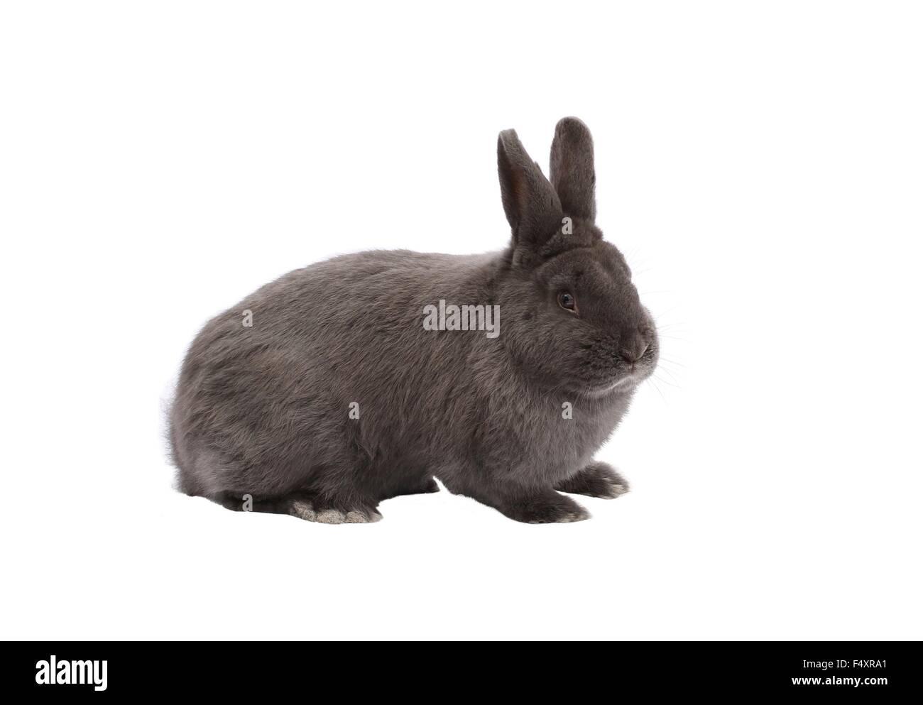Les goélands à Vienne de race lapin bleu sur fond blanc Photo Stock