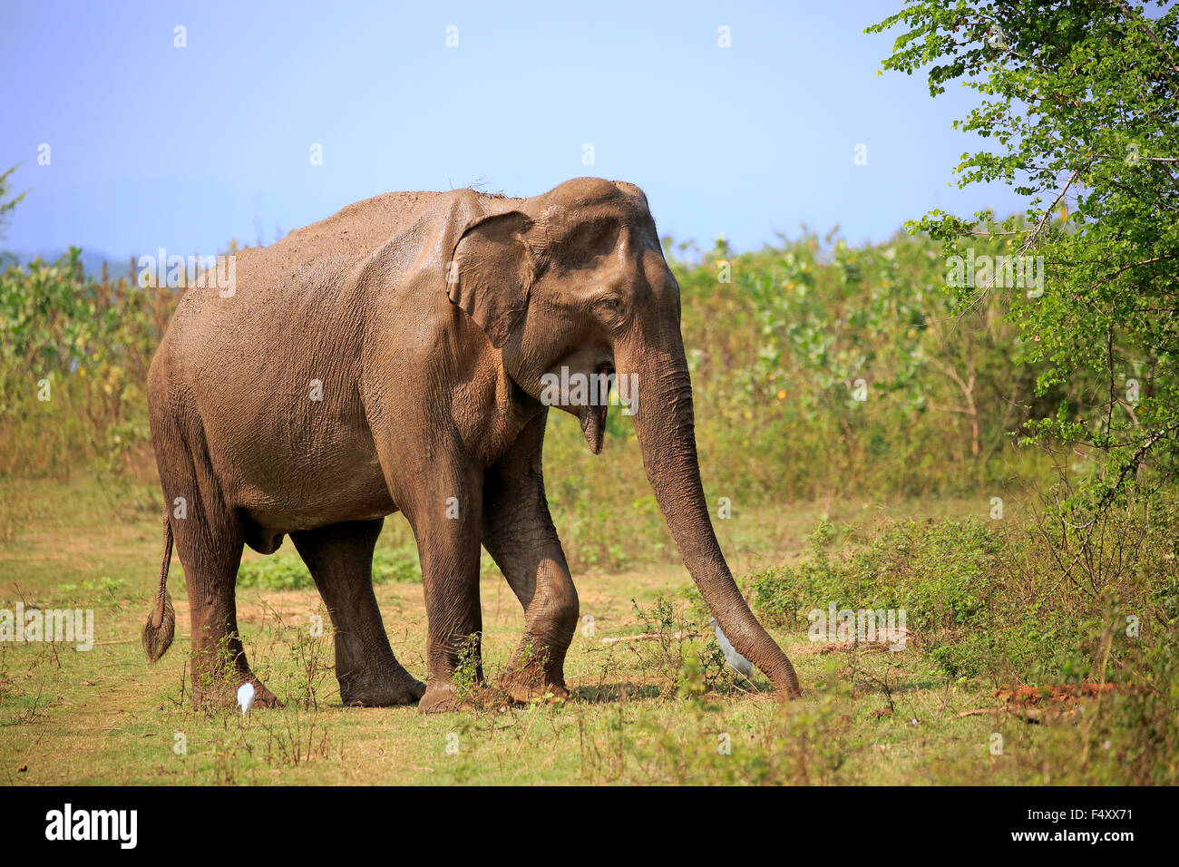 L'éléphant du Sri Lanka (Elephas maximus maximus), adulte, homme, alimentation, parc national Udawalawe, Photo Stock