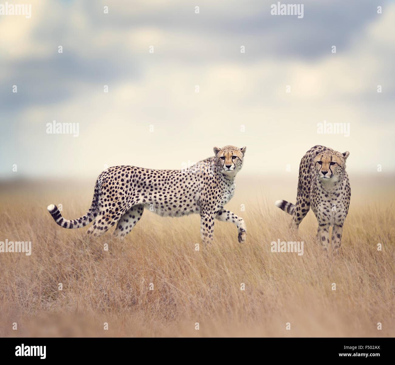 Deux guépards marcher dans l'herbe haute Photo Stock