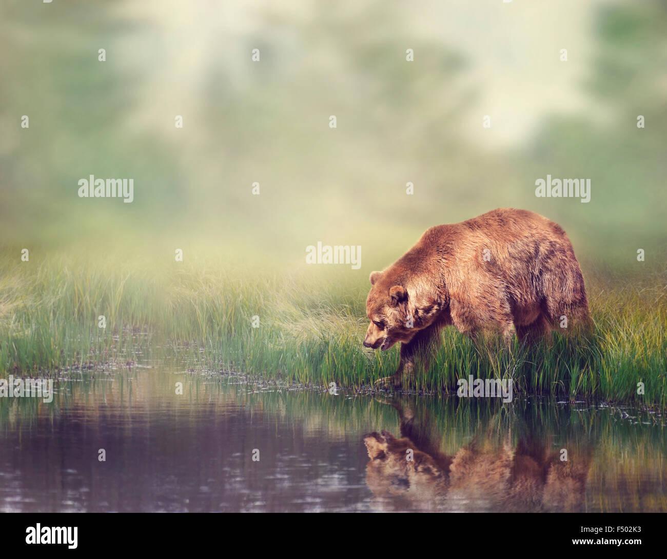 Ours brun près de l'étang avec la réflexion Photo Stock