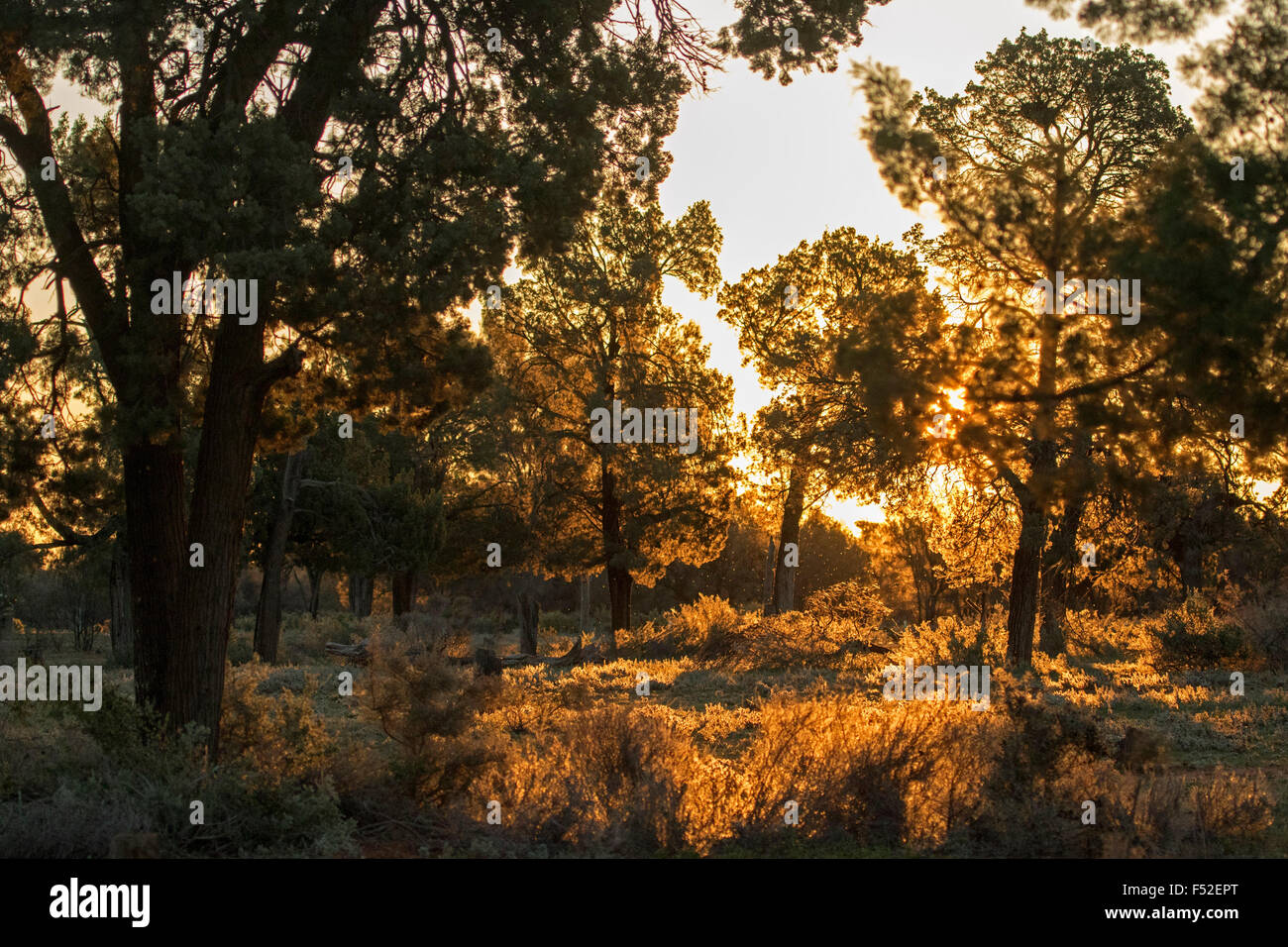 Lumière dorée de l'aube éclairant les arbres et les herbes dans la forêt indigène au Parc National Mungo outback Australie NSW Banque D'Images