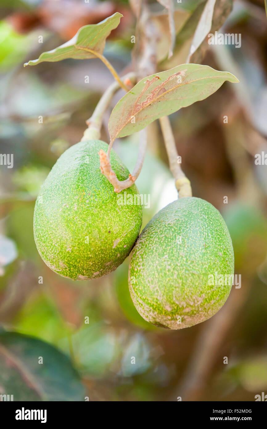 l'arbre à fruits d'avocat banque d'images, photo stock: 89185084 - alamy