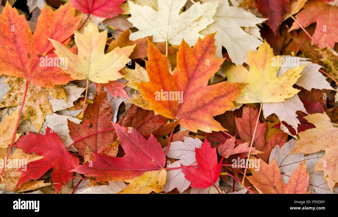 Compost De Feuilles D Érable variété couleur automne feuilles d'érable tombées à terre à