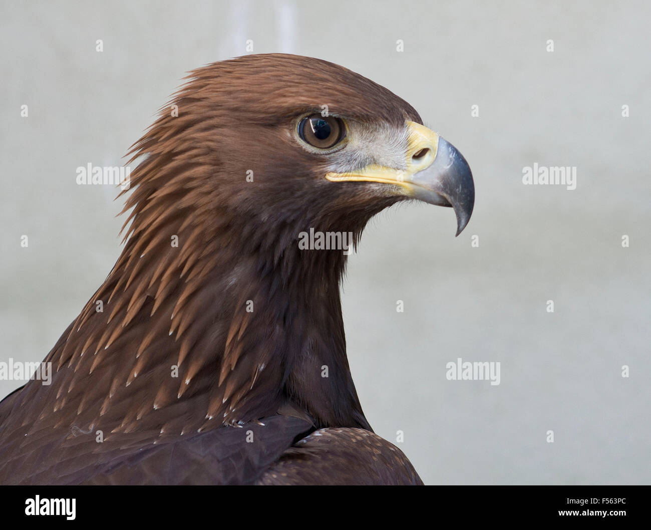 Aquila chrysaetos, Aguila Real, Golden Eagle, Photo Stock