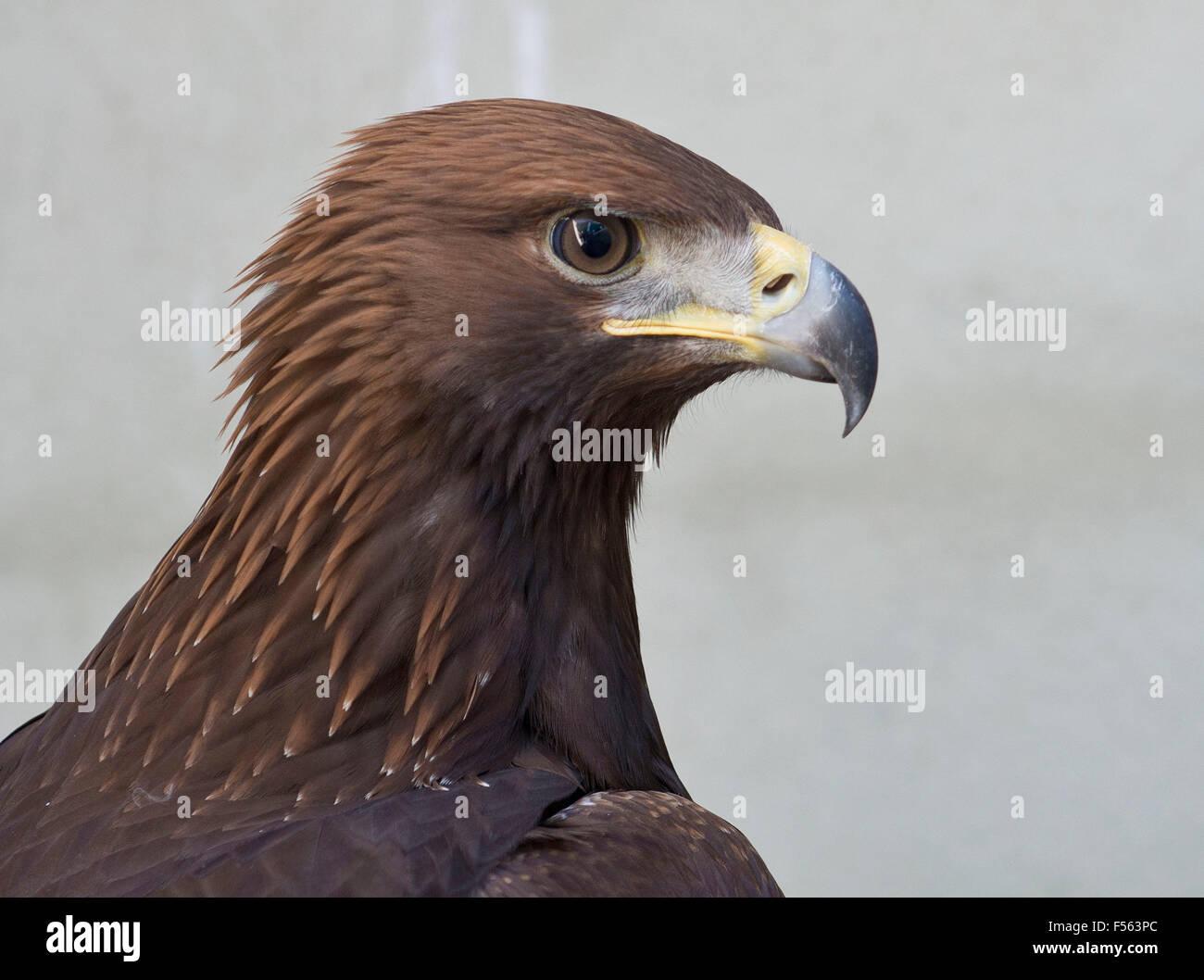 Aquila chrysaetos, Aguila Real, Golden Eagle, Photo Stock