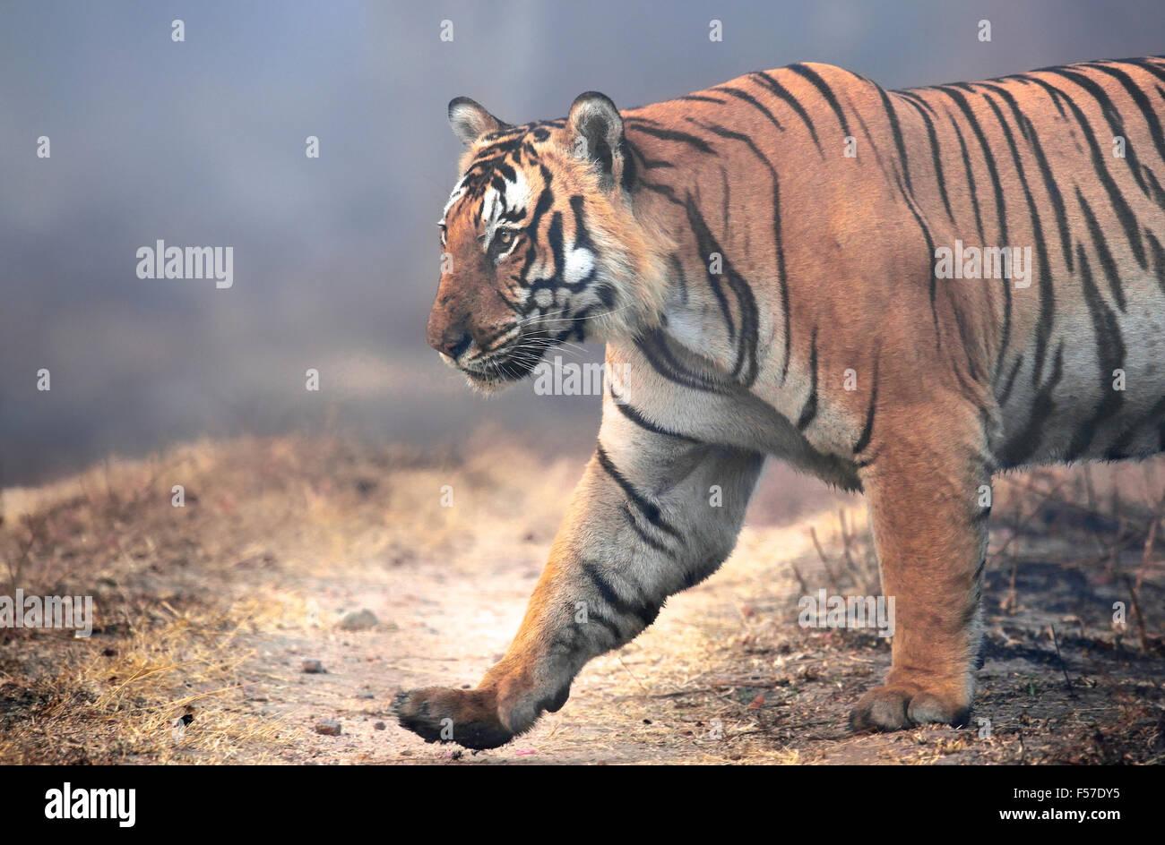 Un tigre énorme! Photo Stock