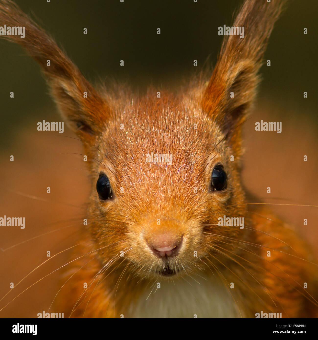 Portrait d'un écureuil roux Photo Stock