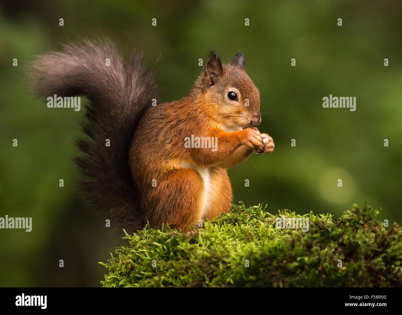 Écureuil rouge sur Moss Banque D'Images
