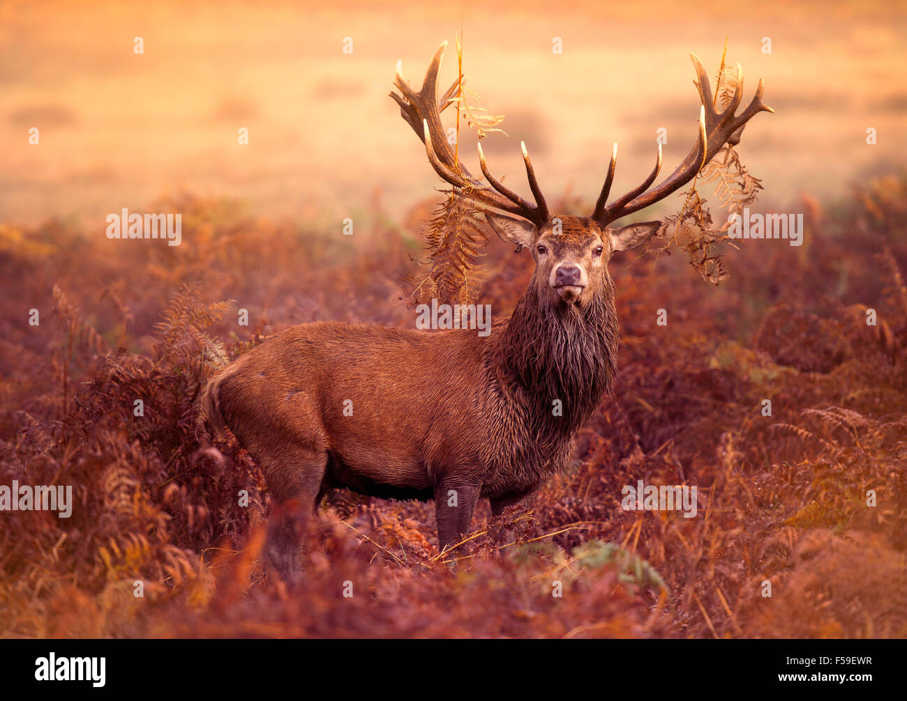 Red Deer Stag dans la brume matinale Photo Stock