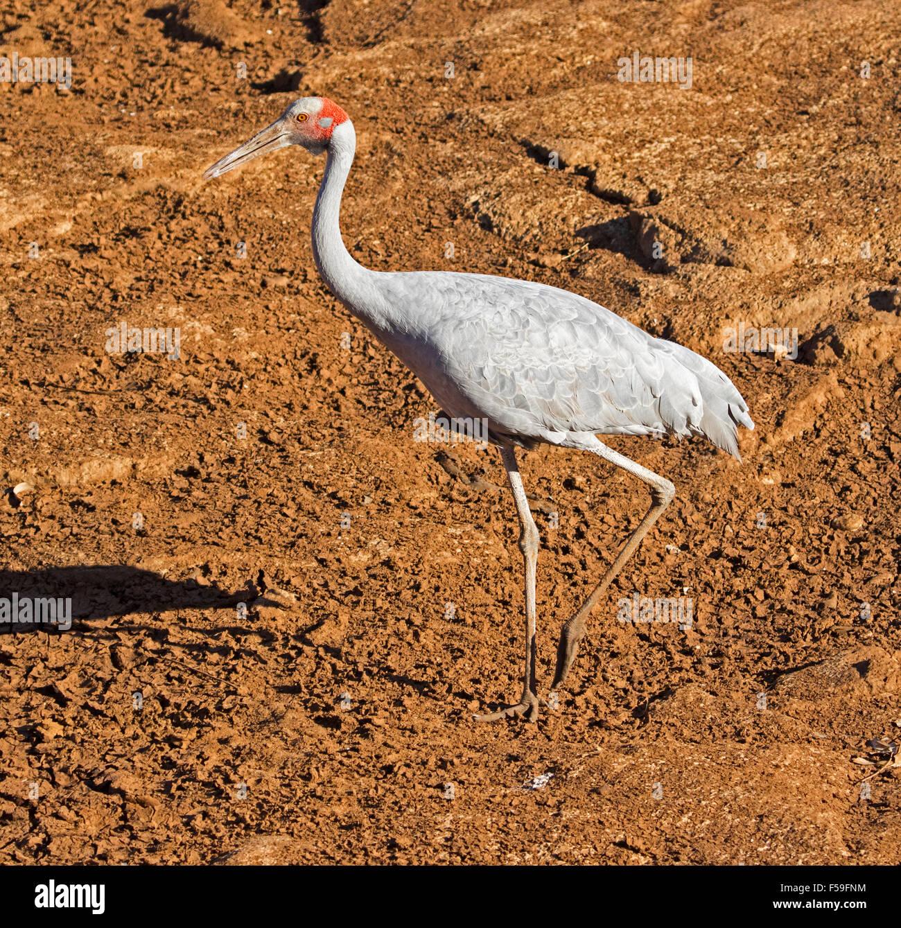 Grue Brolga, Australiens, Grus rubicunda, grand oiseau gris élégant marche sur sol rouge sec de lit de Photo Stock