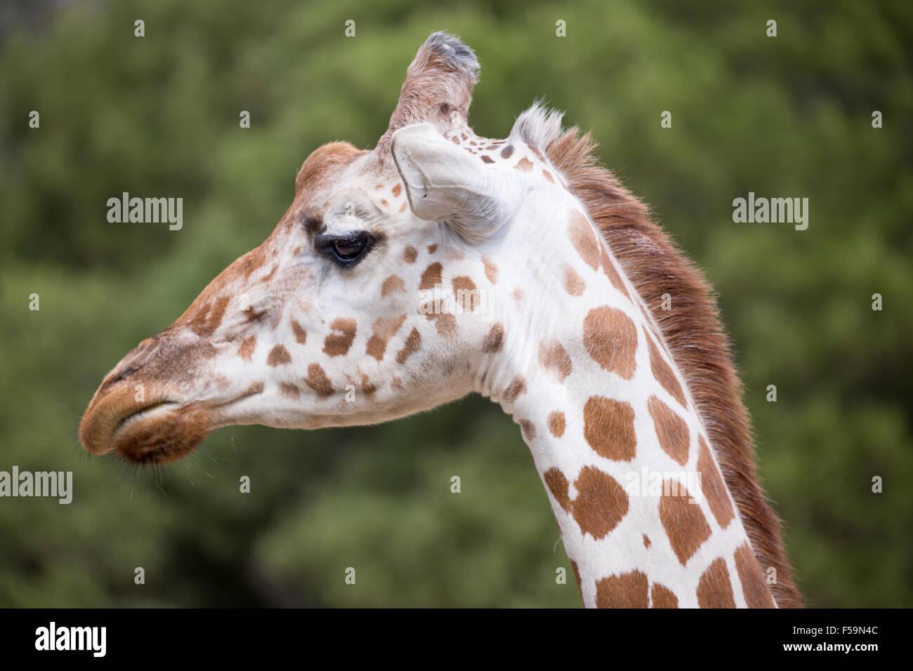Tête de girafe réticulée Banque D'Images