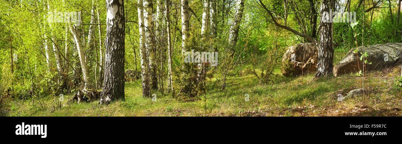 Avec des forêts de bouleaux Photo Stock