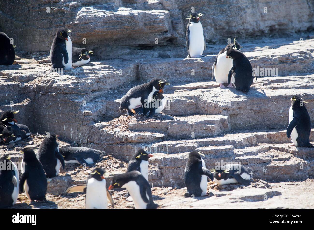 Les gorfous sauteurs en colonie, l'île plus sombre, des îles Malouines Photo Stock