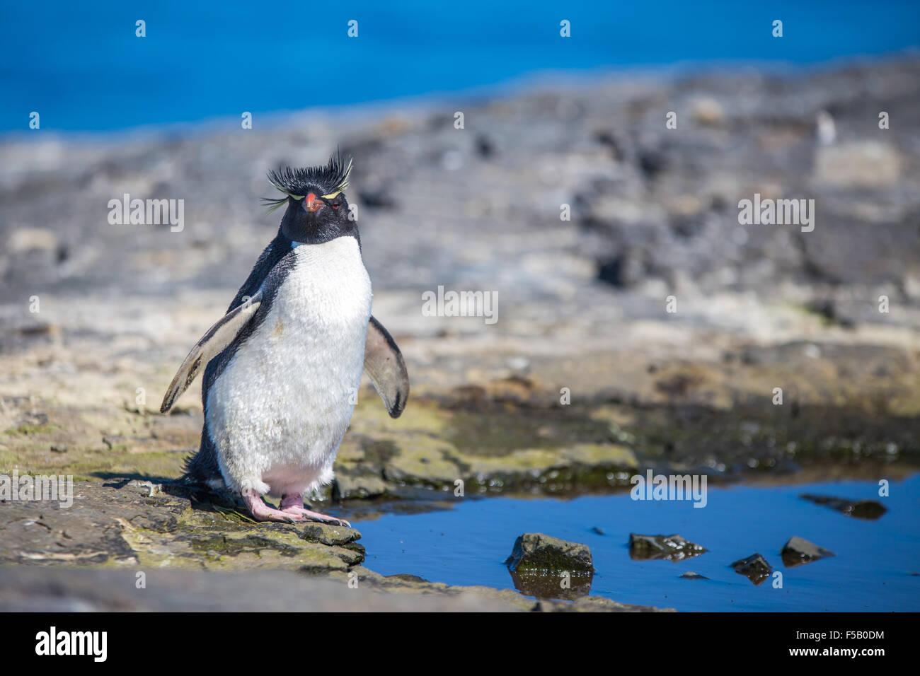 Rockhopper Penguin Eudyptes chrysocome par rock pool. L'île plus sombre, des îles Malouines Photo Stock