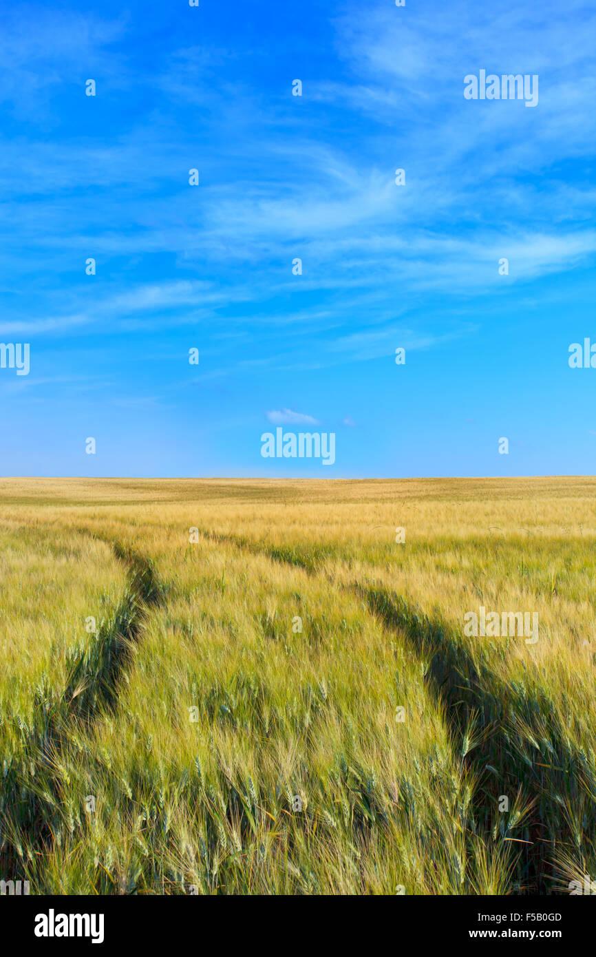 Un blé a déposé avec deux pistes courbe dans une journée de printemps. Sur l'horizon un Photo Stock