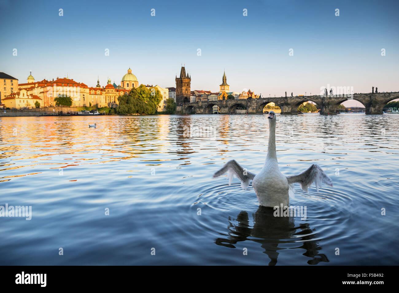 Cygne sur la Vltava, le Pont Charles est à l'arrière-plan, Prague, République Tchèque, Europe Photo Stock