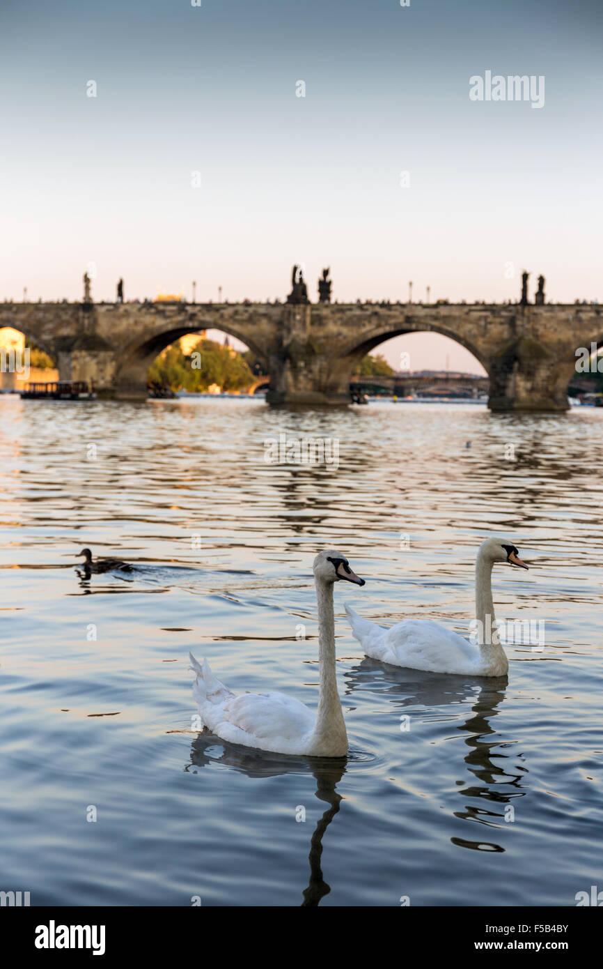 Un groupe de cygnes sur la Vltava, le Pont Charles est à l'arrière-plan, Prague, République Tchèque, Photo Stock
