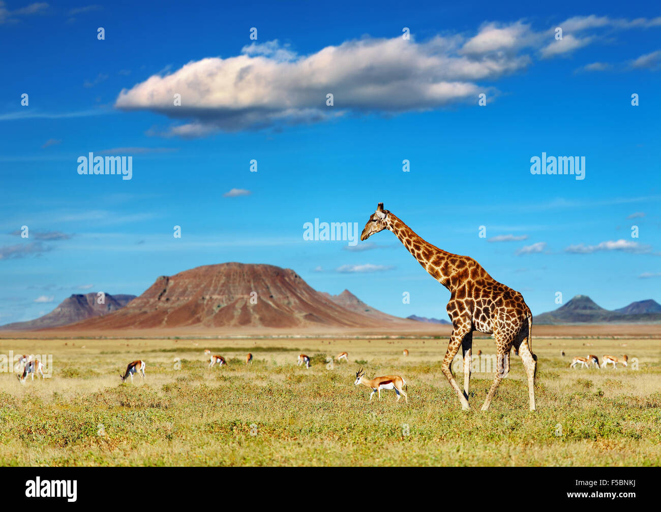 Savane Africaine avec des girafes et des antilopes de pâturage Photo Stock