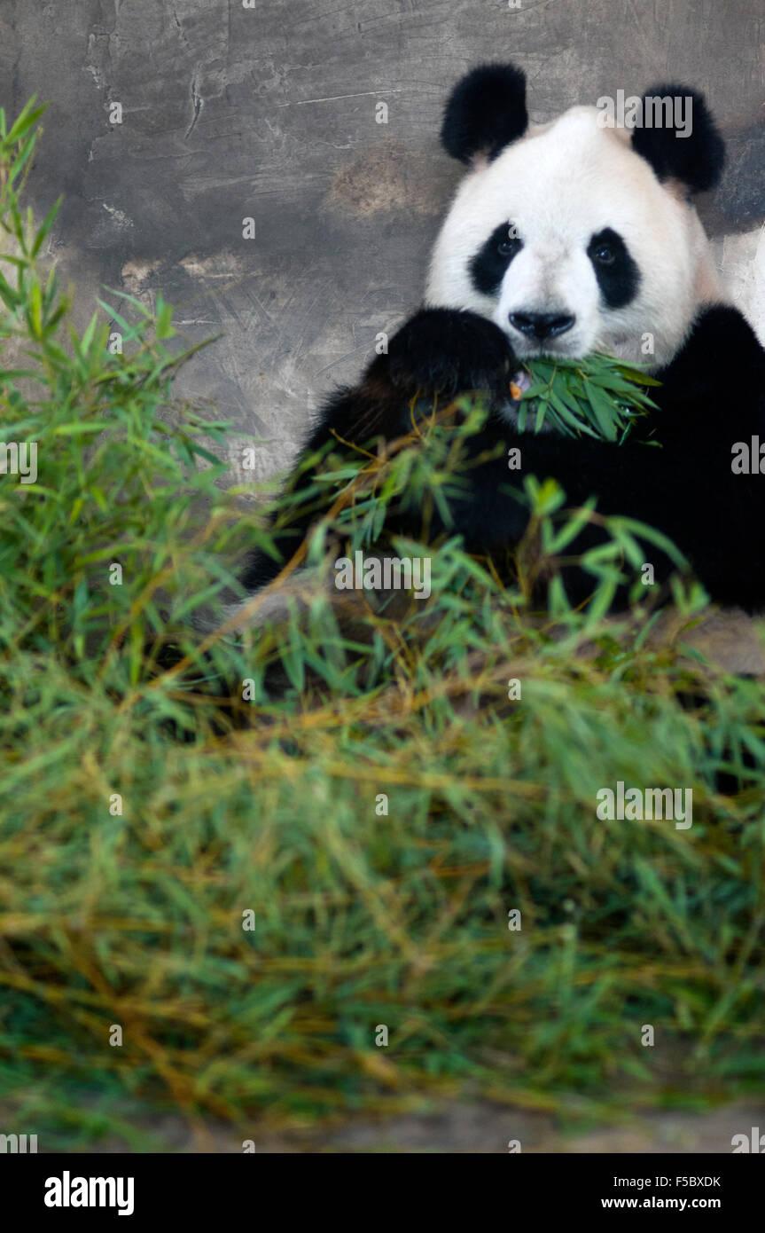 Ours Panda Géant à Shanghai, Chine. Le panda (Ailuropoda melanoleuca, allumé. Chat noir et blanc Photo Stock
