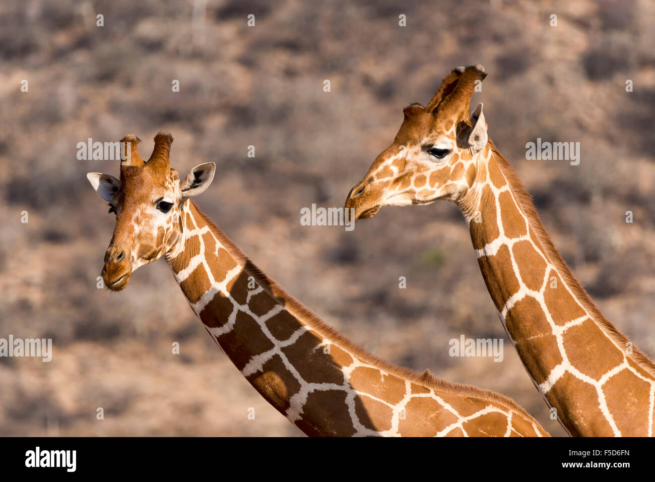Les Girafes réticulée ou Somali girafes (Giraffa camelopardalis reticulata), Portrait, la réserve nationale de Samburu, Kenya Banque D'Images