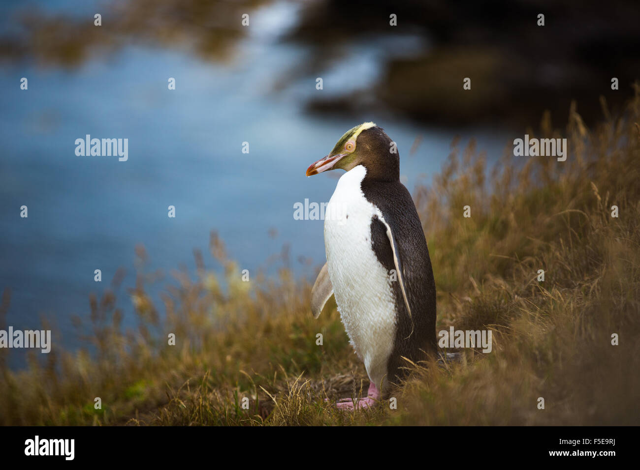 Yellow-eyed penguin (Megadyptes antipodes), Moeraki, île du Sud, Nouvelle-Zélande, Pacifique Photo Stock