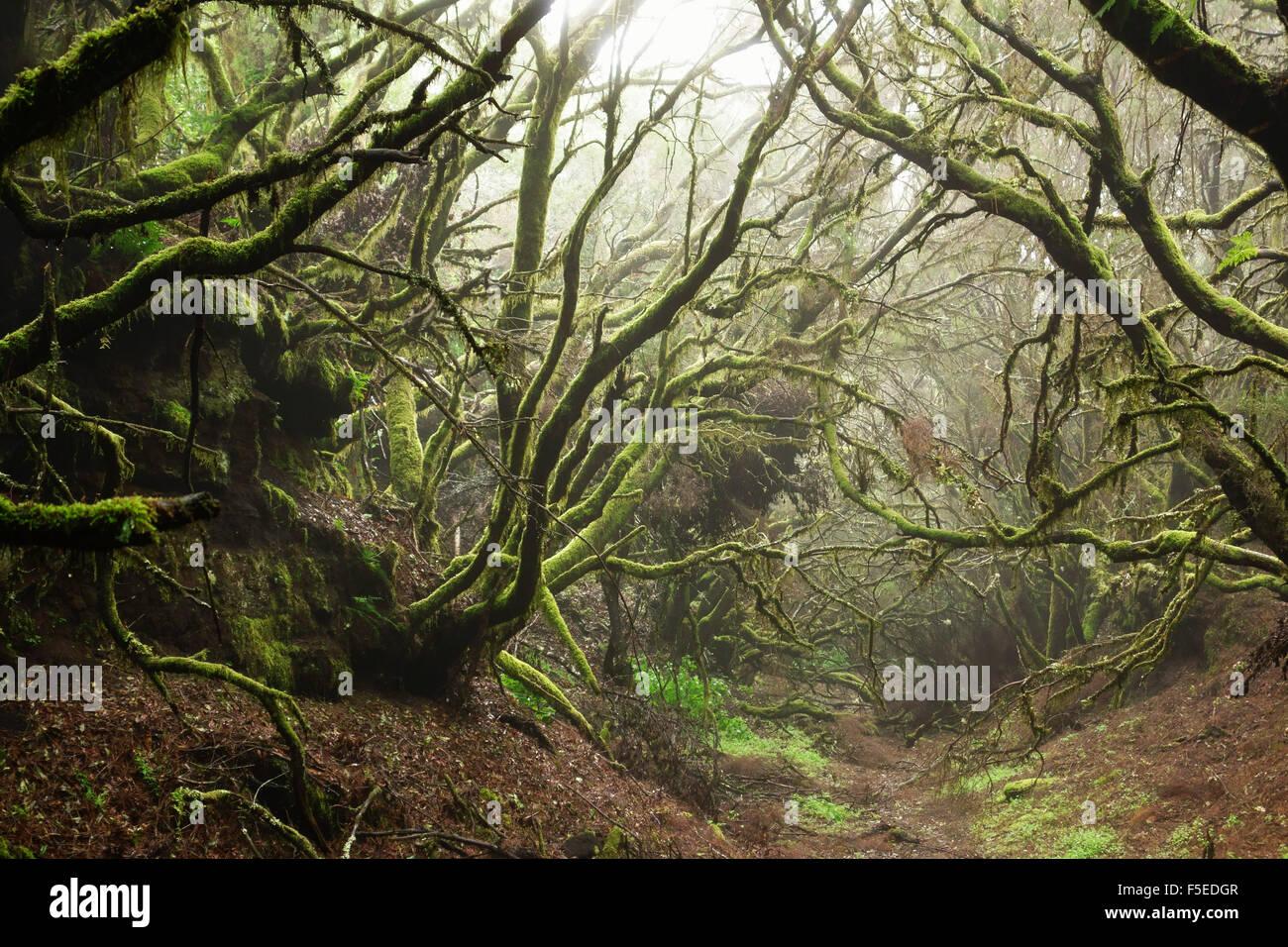 Forêt de lauriers dans le brouillard, El Hierro, Îles Canaries, Espagne, Europe Photo Stock