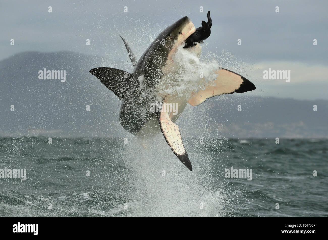 Grand requin blanc (Carcharodon carcharias) violer dans une attaque. La chasse d'un grand requin blanc (Carcharodon Photo Stock