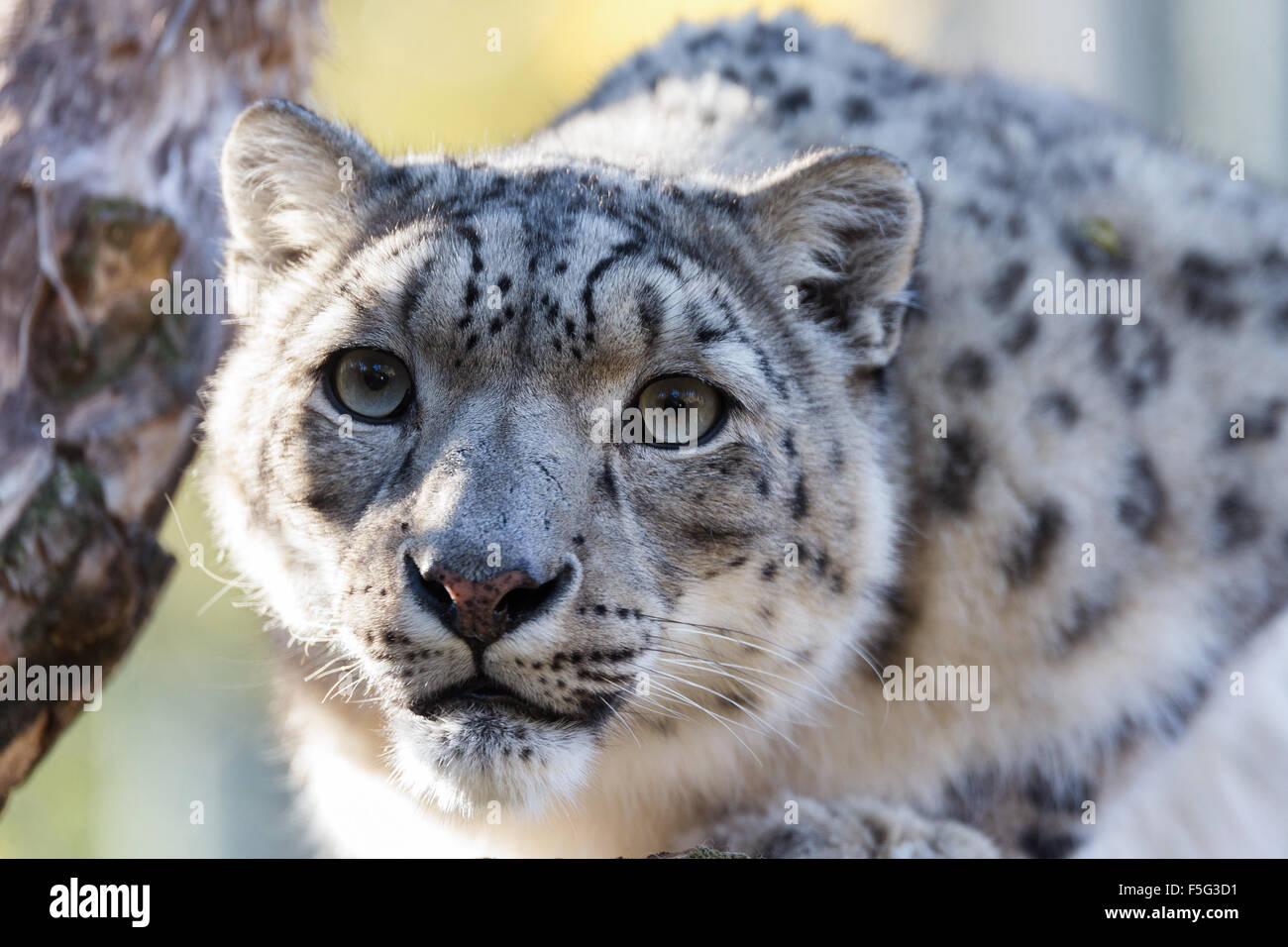 Portrait du côté de snow leopard, Uncia uncia avec accent peu profondes Photo Stock