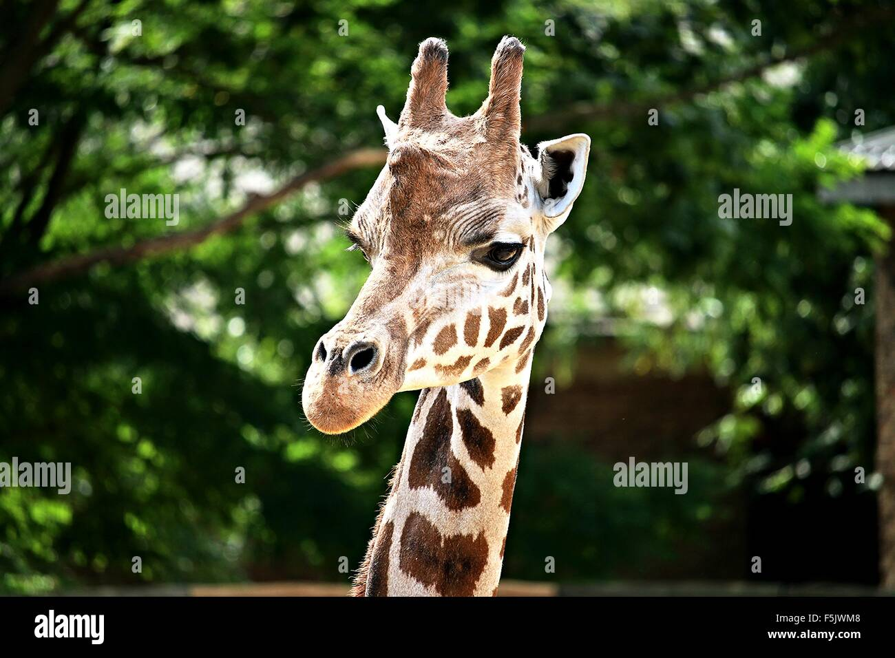 Magnifique portrait - Tête de Girafe Girafe Photo Stock